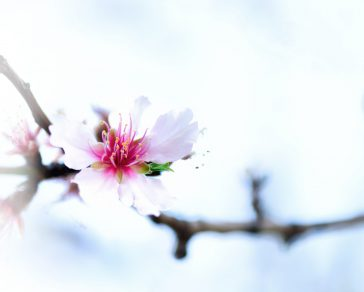 Flowering almond tree. Blooming almond flower. Blossom spring day. Copy space.